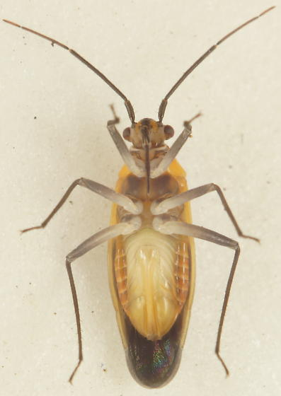 Unknown Miridae - Lopidea