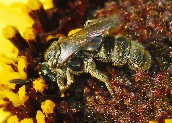 Husky, fuzzy bee for ID - Lasioglossum
