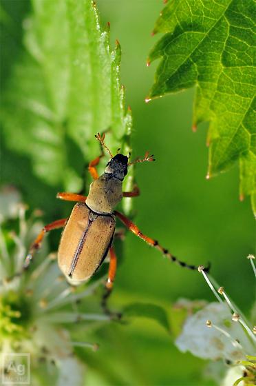 Beetle - Macrodactylus