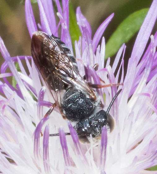 White-edged bee - Coelioxys