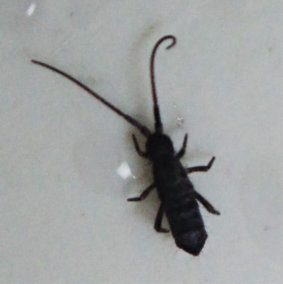 small insect - Pogonognathellus