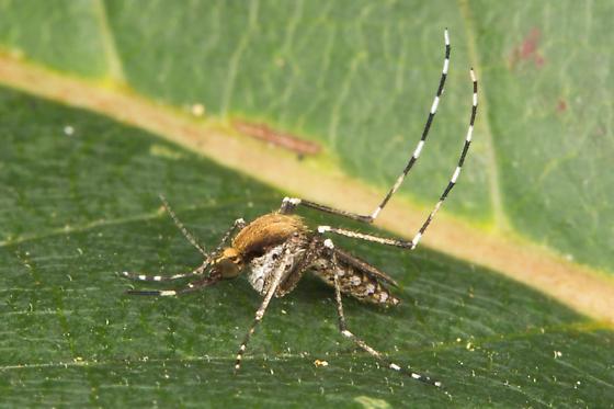 Golden Saltmarsh Mosquito - Ochlerotatus sollicitans - female