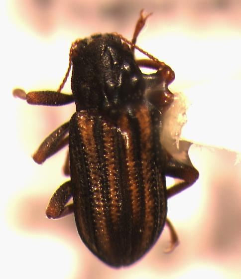 unk beetle - Stenelmis sexlineata