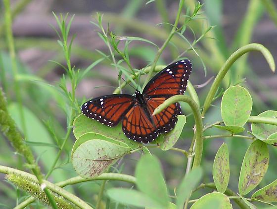Viceroy (Limenitis archippus) - Limenitis archippus