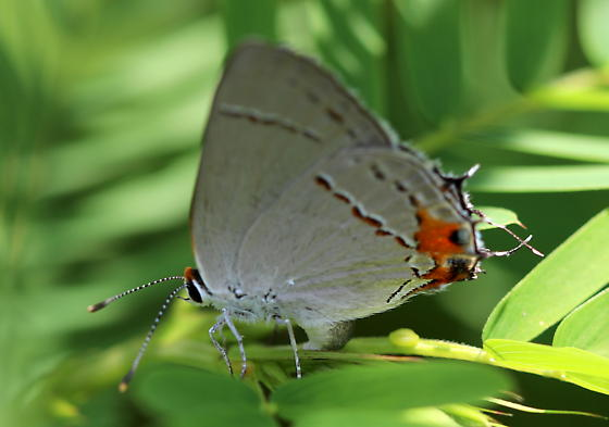 Likely Gray Hairstreak - Strymon melinus