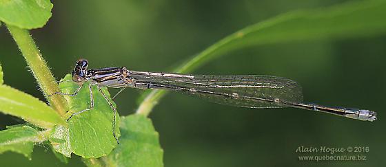 Coenagrionidae ? - Enallagma exsulans - male