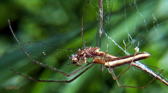 Spider in the grass - Tetragnatha straminea