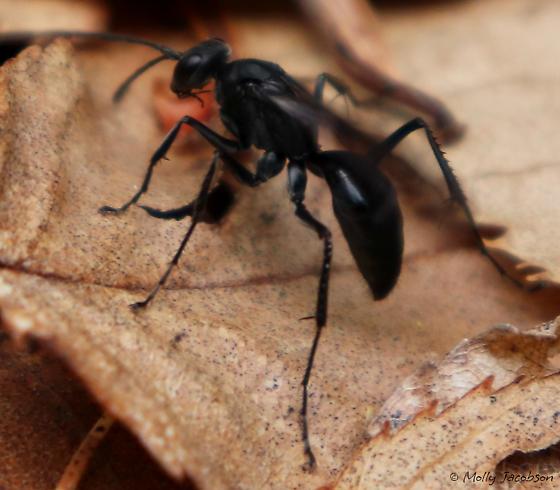 wasp on forest floor - Priocnemis minorata