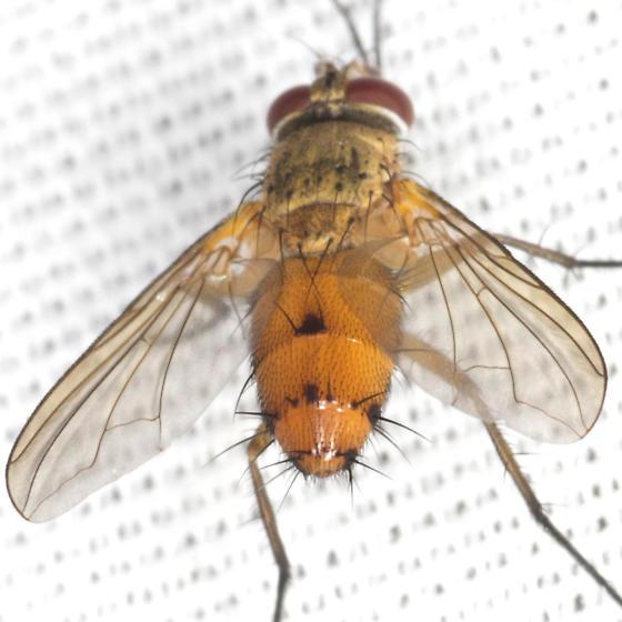 Unknown Fly - Leskia