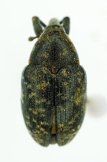 curculionidae - Larinus turbinatus