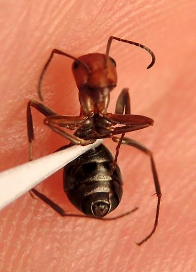 Red Ant - Ventral - Formica ravida