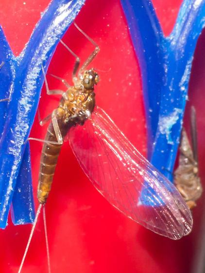 Medium brown mayfly - Acentrella turbida