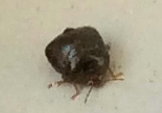 What kind of bug is this? - Megacopta cribraria