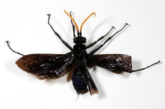 Tarantula Hawk-pinned - Pepsis menechma - female