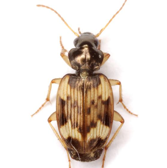 Tetragonoderus fasciatus (Haldeman) - Tetragonoderus fasciatus