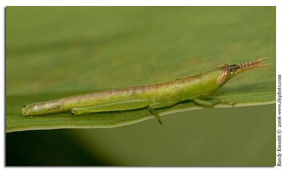 Toothpick Grasshopper nymph? - Leptysma marginicollis