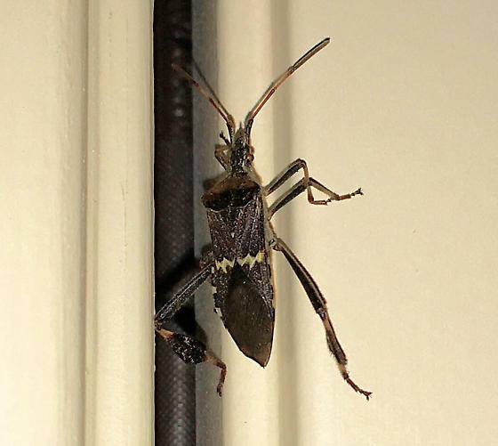 Western Leaf-footed Bug (Leptoglossus clypealis) - Leptoglossus clypealis
