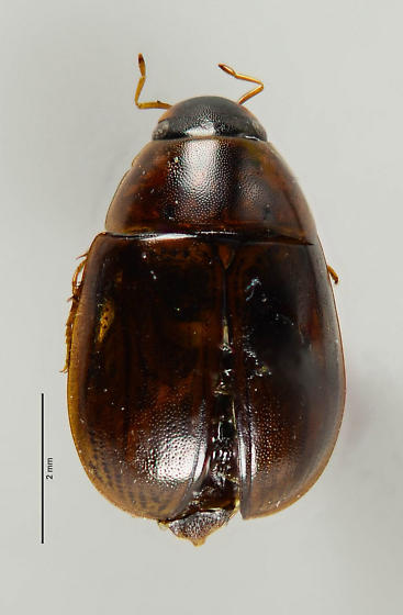Another Hydrophilid of sorts?  - Enochrus