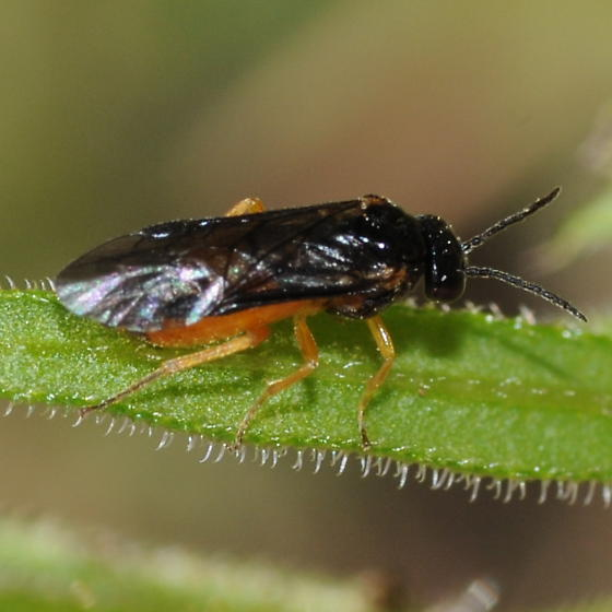 Sawfly? - Halidamia affinis