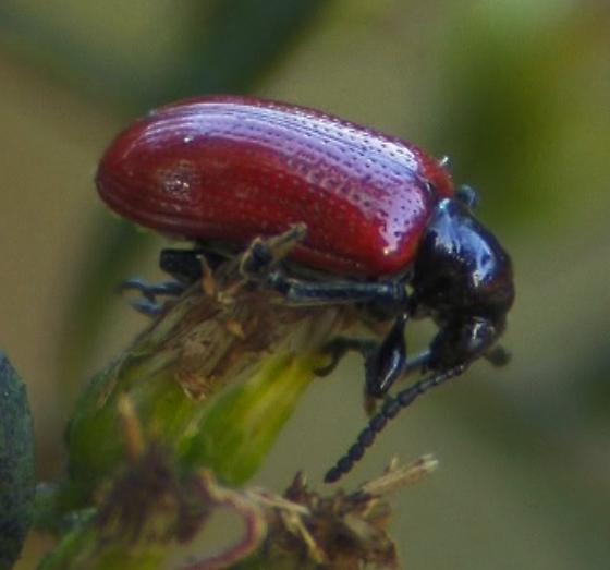 red & black beetle - Lilioceris cheni