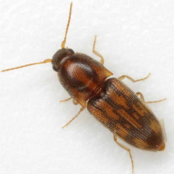 Conoderus bellus (Say) - Conoderus bellus
