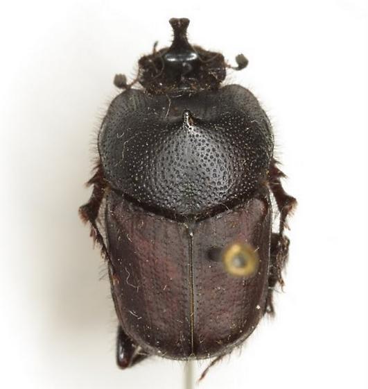 Liatongus californicus (Horn) - Liatongus californicus