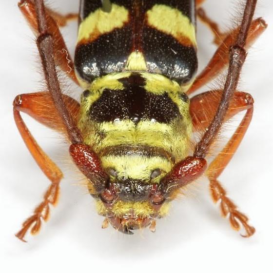 Dryobius sexnotatus Linsley - Dryobius sexnotatus - male