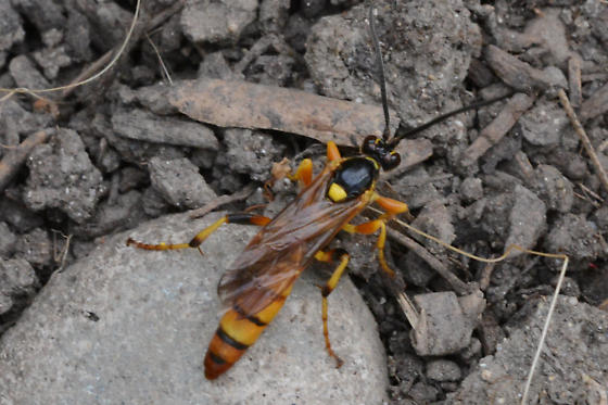 Yellow orange wasp? - male