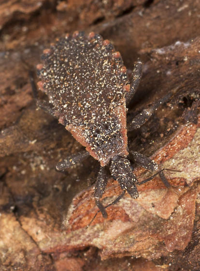Insect in bark of tree  - Triatoma