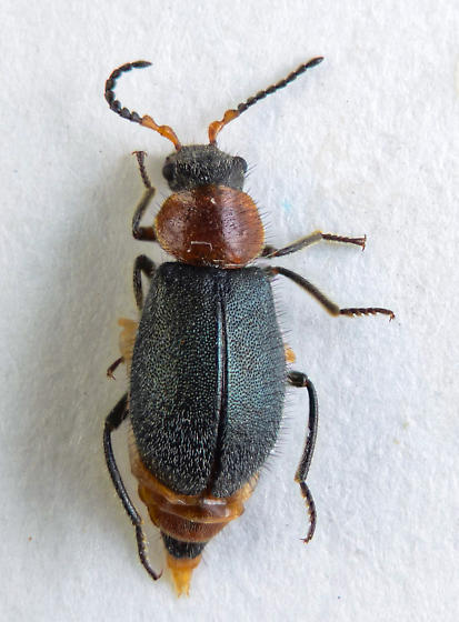 One more Melyridae - Collops