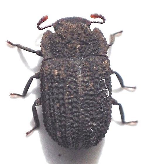 Bolitophagus corticola? - Megeleates sequoiarum
