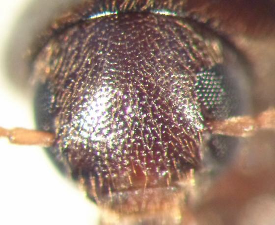 Anisoxya glaucula ? - Phloiotrya