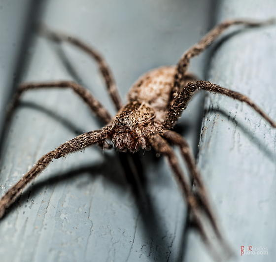 Eight-eyed hairy brown spider - Pisaurina mira