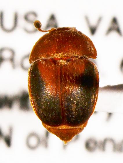 beetle - Cychramus adustus
