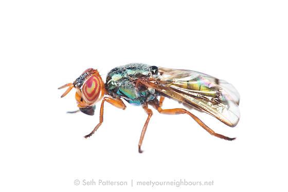Senopterina sp? - Senopterina caerulescens