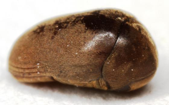 Tricorynus? - Tricorynus