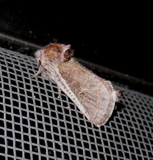 Big Bend moth - Comadia redtenbacheri