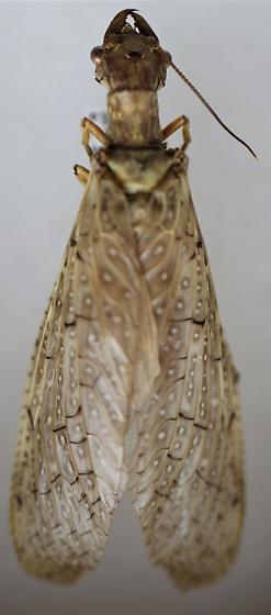Corydalus texanus