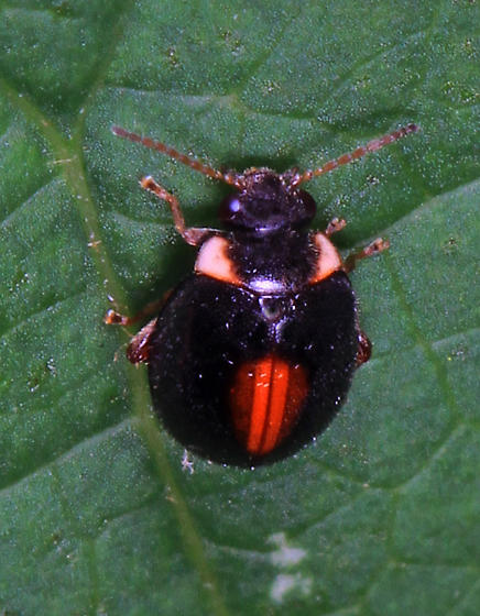small Lady Beetle - Scirtes orbiculatus