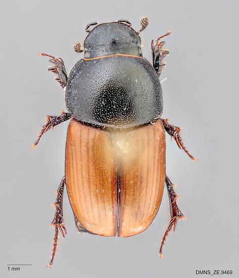 Aphodius erraticus dorsal - Aphodius erraticus