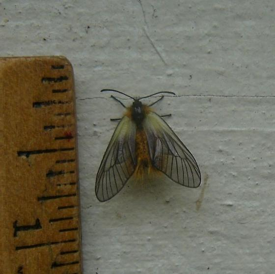 I found alot of these moths on the western wall exterior of my house. - Pryeria sinica