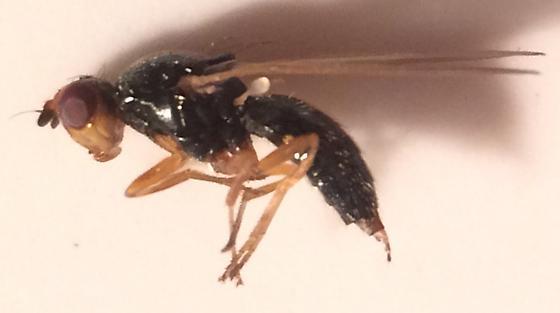 Fly - Psila