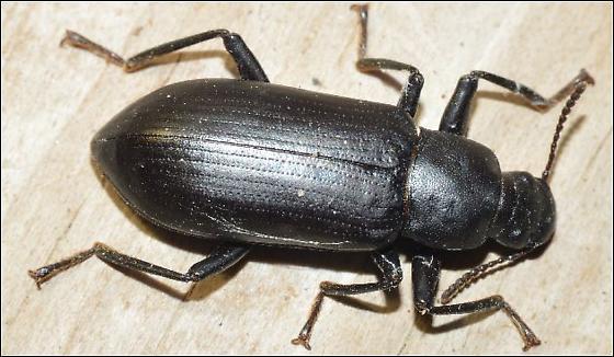 Beetle - Alobates