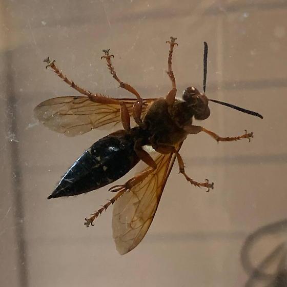 large vespid - Sphecius speciosus