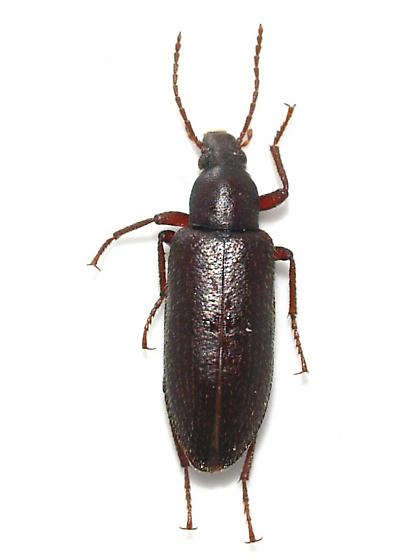 teneb - Eupsophulus castaneus