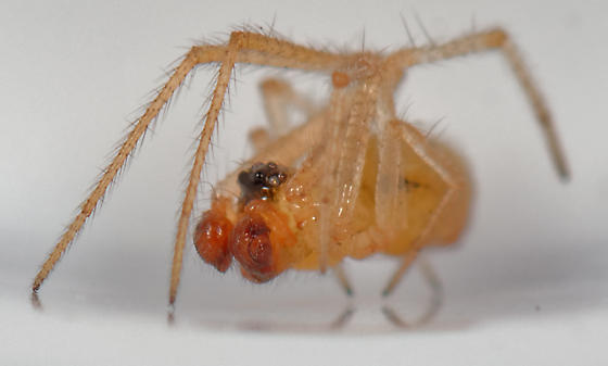 UID small spider - male