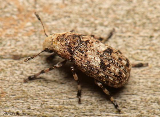 Weevil for ID - Euparius marmoreus