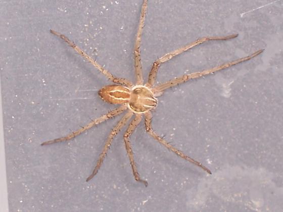 Philodromidae Thanatus vulgaris - Thanatus vulgaris