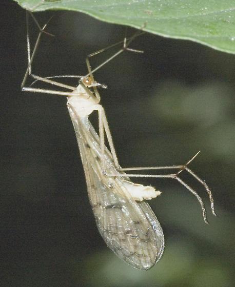 Hangingfly? - Bittacus strigosus - female