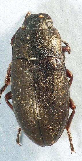 Teneb - Blapstinus metallicus